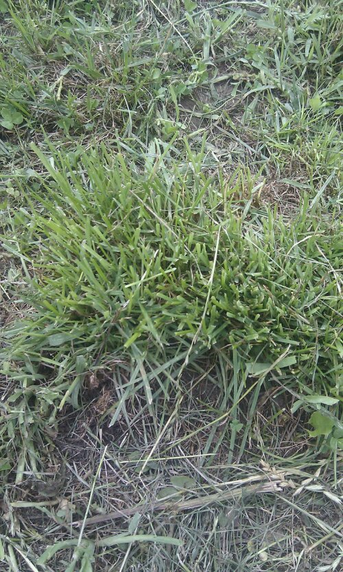 A ryegrass clump showing regrowth after grazing