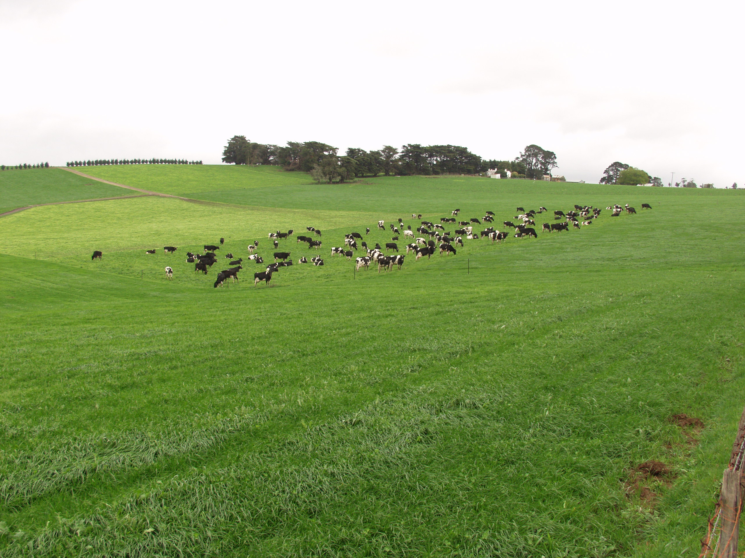 Grazing Dairy Pasture